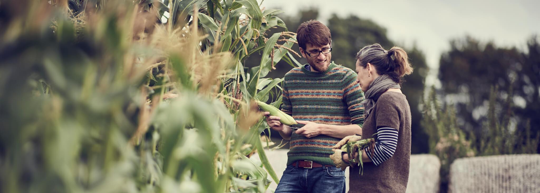 Couple cultivant du maïs
