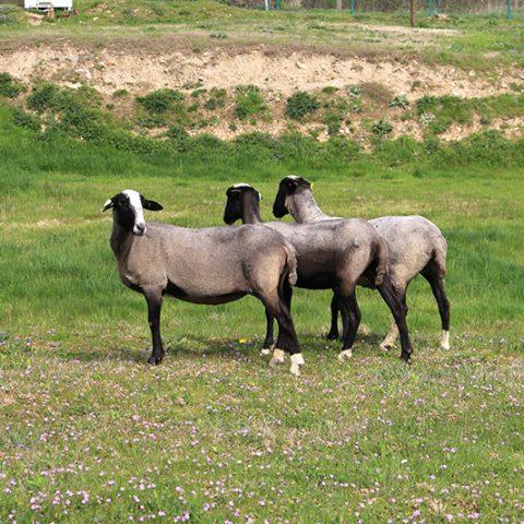 Pour entretenir vos espaces verts, pensez à l'éco-pâturage en adoptant des moutons !