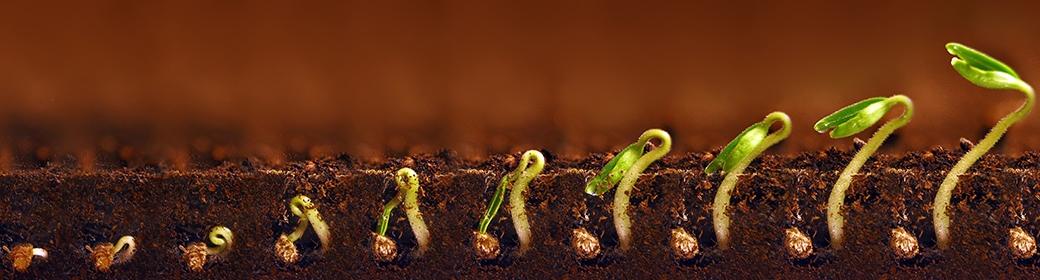 graines germées cycle